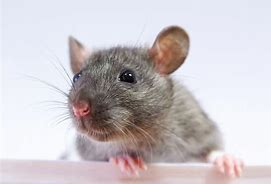 A cute rat posing for a picture;