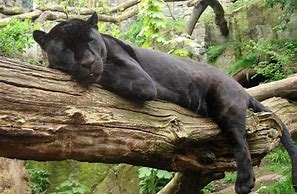 Jaguar is resting peacefully in a tree;